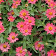 Profusion Coral Pink Zinnia Seeds image