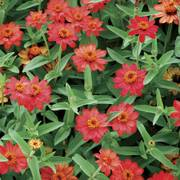 Profusion Deep Apricot Zinnia Seeds image