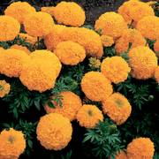 Inca II Gold Hybrid Marigold Seeds