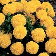 Inca II Yellow Hybrid Marigold Seeds