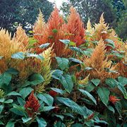 Autumns Touch Amaranthus Seeds