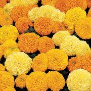 Inca II Hybrid Marigold Seeds