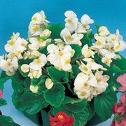 Pizzazz White Begonia Seeds image