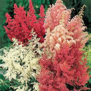 Finest Mix Astilbe Seeds