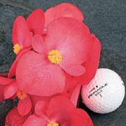 BIG™ Rose with Bronze Leaf Begonia Seeds image