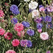 'Polka Dot Mix' Dwarf Centaurea Seeds Alternate Image 1