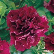 Double Cascade Burgundy Hybrid Petunia Seeds