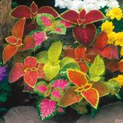 Wizard Mix Coleus Seeds image