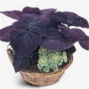 Palisandra Giant Exhibition Coleus Seeds image