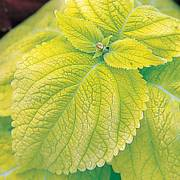 Limelight Giant Exhibition Coleus Seeds image