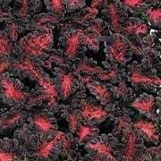 Black Dragon Coleus Seeds