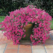 Tidal Wave™ Hot Pink Hybrid Petunia Seeds image