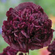 Parks Black Peony Poppy Seeds