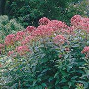 Joe-Pye Weed Seeds Alternate Image 1