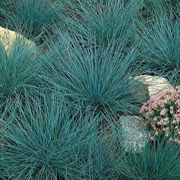 Blue Fescue Seeds (P) Pkt of 100 seeds image