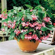 Dragon Wing™ Pink Begonia Seeds