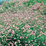 Penngift Crownvetch Flower Seeds (J) oz image