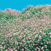 Penngift Crownvetch Flower Seeds Thumb