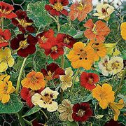 Jewel of Africa Nasturtium Seeds image
