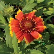 Arizona Sun Blanket Flower Seeds Alternate Image 2