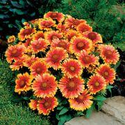 Arizona Sun Blanket Flower Seeds Alternate Image 3