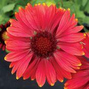 Arizona Red Shades Blanket Flower Seeds