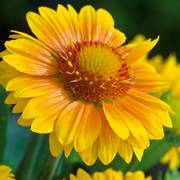 Arizona Apricot Blanket Flower Seeds image