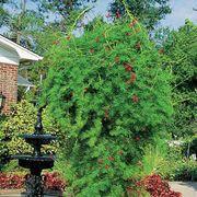 Red Cypress Vine Seeds Alternate Image 1
