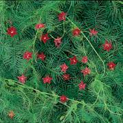 Red Cypress Vine Seeds