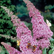 Miss Butterfly Buddleia Bush Seeds