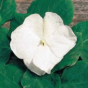 Shady Lady Bride Hybrid Impatiens Seeds