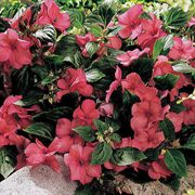 Sunny Lady Salmon Shimmer Hybrid Impatiens Seeds