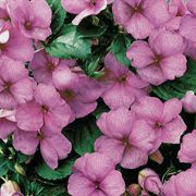 Sunny Lady Lilac Shimmer Hybrid Impatiens Seeds