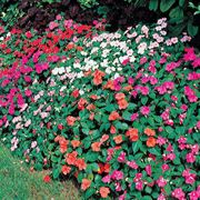 Shady Lady Hybrid Mix Impatiens Seeds