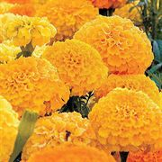 Park's Whopper Gold Marigold Seeds image
