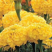 Parks Whopper Yellow Marigold Seeds