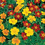 Disco Mix Marigold Seeds image