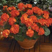 Maverick™ Orange Geranium Seeds Thumb