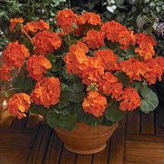 Maverick Orange Geranium Seeds