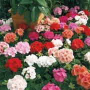 Maverick Mix Geranium Seeds