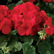 Maverick Scarlet Geranium Seeds Pack of 100 image