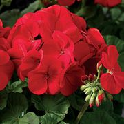 Maverick Scarlet Geranium Seeds (P)Pkt of 10 seeds image
