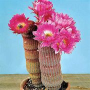 Arizona Rainbow Cactus Seeds