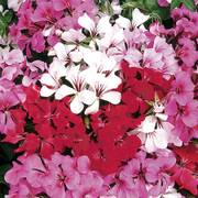 Tornado Mix Geranium Seeds