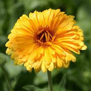 Calendula Flower Seeds