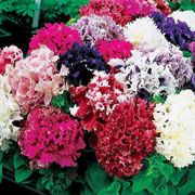 Parks All Double Petunia Mix Seeds