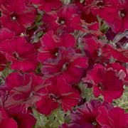 Celebrity Burgundy Petunia Seeds image