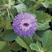 Button Beauty Brazilian Bachelors Buttons Seeds