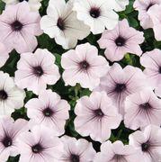 Tidal Wave® Silver Petunia Seeds Alternate Image 1
