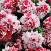 Pirouette Red Petunia Seeds